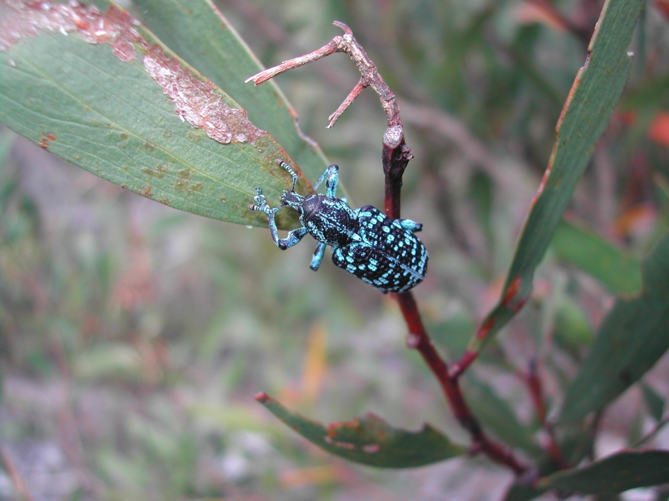 Botany Bay Weevil, Chrysolopus spectabilis