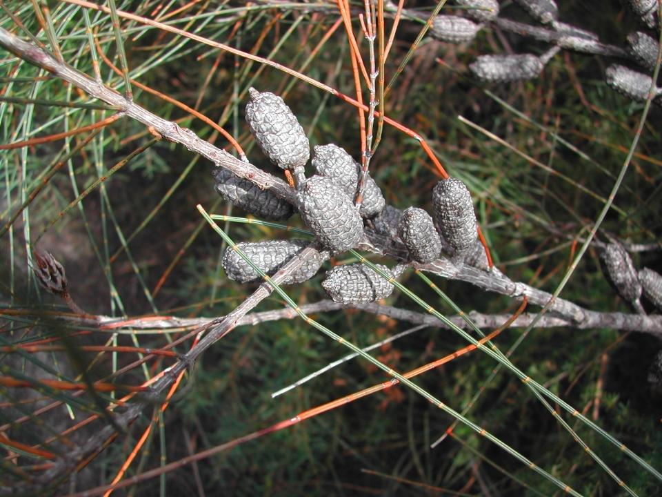 Casuarina seedpods (detail)