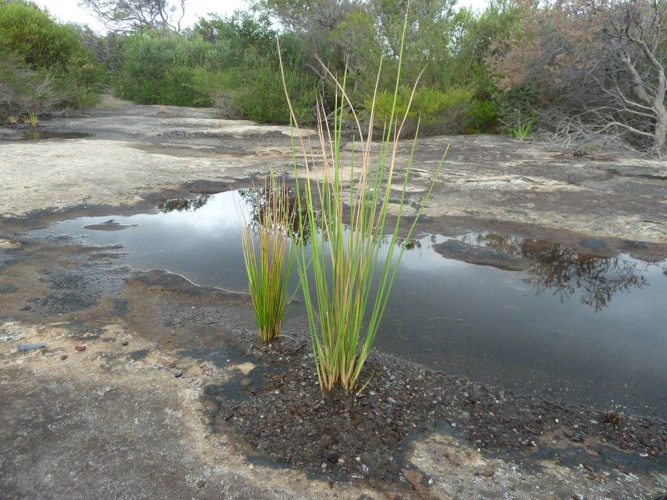 Juncus kraussii beside a rockpool Western bushland
