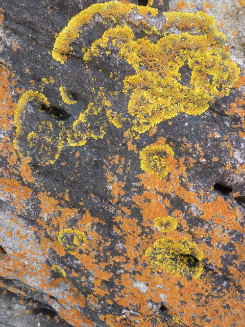 Lichen on rock, Malabar Headland coastline, South Maroubra
