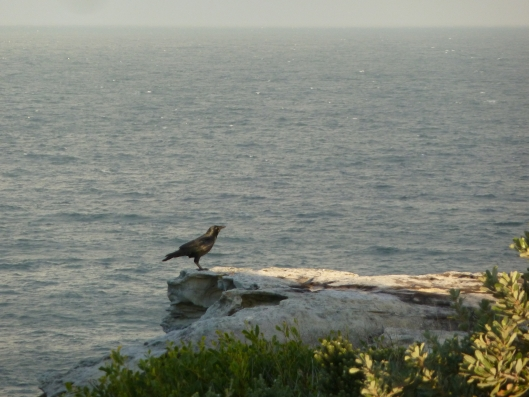 Australian Raven at Magic Point