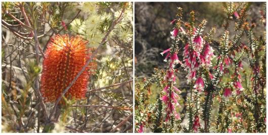 Banksia ericifolia and Epacris longiflora