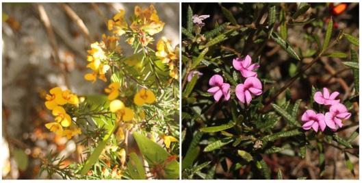 Dillwynia floribunda and Mirbelia rubiifolia