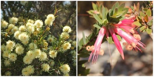 Melaleuca nodosa and Styphelia triflora