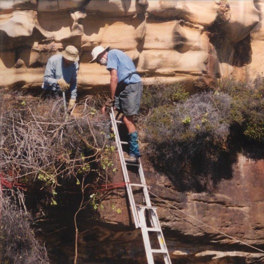 Brian pursuing Bitou in the pioneering (and less safety conscious) days of FoMH bushcare